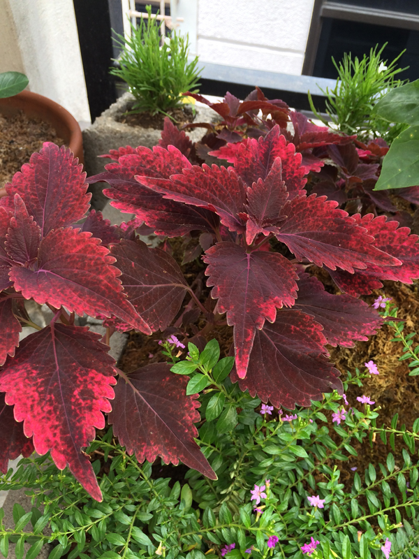 Red variety of the mayana plant. These also grow spiralling flowers, but this time with red blooms.